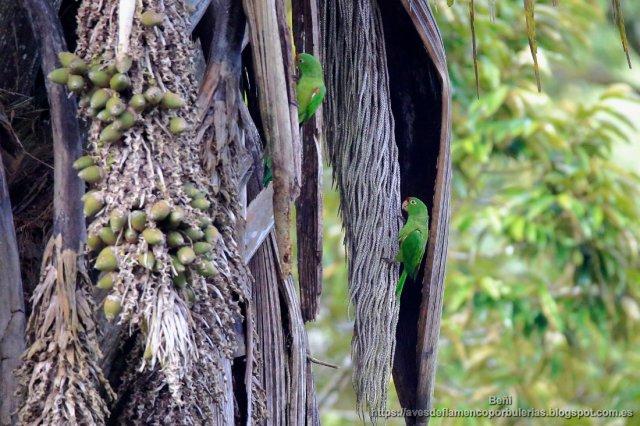 Aratinga de Finsch, crimson-fronted parakeet, Psittacara finschi