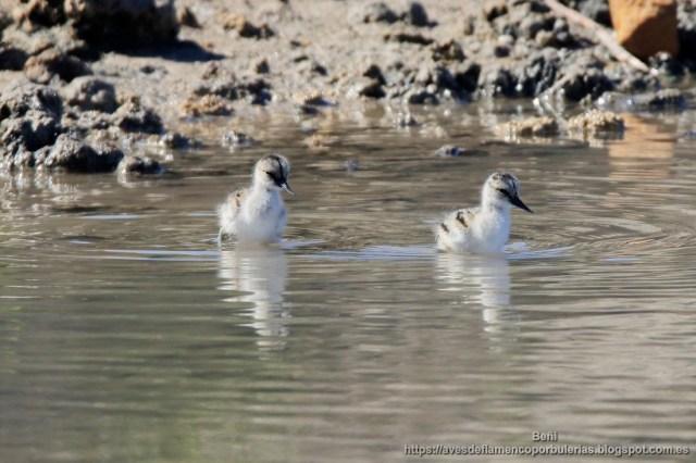 pollos de avoceta comun, pied avocet, recurvirostra avosetta
