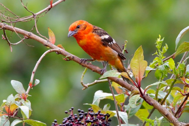Piranga estriada, quitrique de espalda rayada, flame-colored tanager, Piranga bidentata