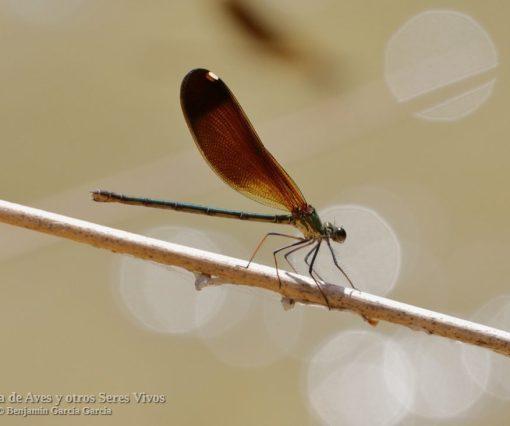 Calopteryx haemorrhoidalis; caballito del Diablo de alas negras; Mediterranean demoiselle