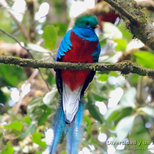 Quetzal guatemalteco, resplendent quetzal, Pharomachrus mocinno