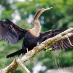 hembra de anhinga americana en Costa Rica