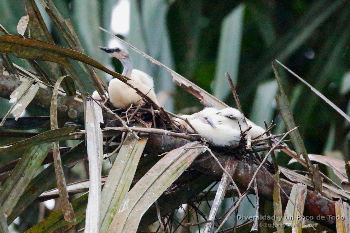 pollos de anhinga americana en el nido