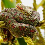 Bothriechis schlegelii (bocaraca, oropel, toboba de pestana) especimen policromatico