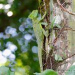 Basilisco esmeralda (green basilisk, Basiliscus plumifrons) hembra.