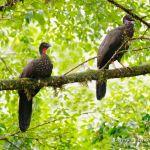Pava cojolita (Crested Guan, Penelope purpurascens) en pareja