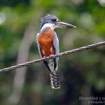 Martín gigante neotropical, Ringed Kingfisher (Megaceryle torquata)