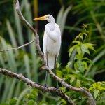 Garceta grande, Great Egret (Egretta alba)