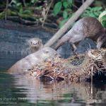 Nutria neotropical o lobito de rio, Long-tailer Otter or Neotropical River Otter (Lontra longicaudis)