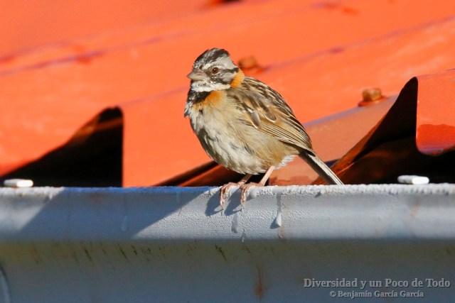 Chingolo comun (Rufous-collared Sparrow, Zonotrichia capensis)