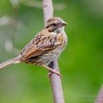 juvenil de chingolo comun (Rufous-collared Sparrow, Zonotrichia capensis)