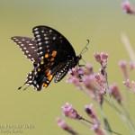 Mariposa en Savannah NWR