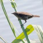 Sargento alirrojo hembra, red-winged blackbird, Agelaius phoeniceus