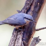 Trepador azul, Eurasian Nuthatch, Sitta europaea