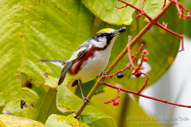 Reinita de Pensilvania, Chestnut-sided Warbler, Setophaga pensylvanica