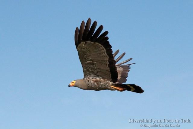 Aguilucho caricalvo comun al vuelo, African Harrier-hawk (Polyboroides typus).