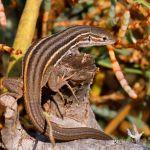 Lagartija colilarga, Psammodromus algirus