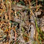 Pareja de Lagartija colilarga, Psammodromus algirus