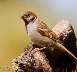 Gorrion molinero, Eurasian Tree Sparrow, Passer montanus