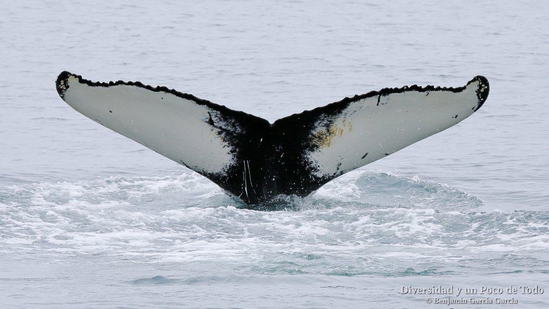 ballena en husavik
