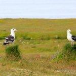 Gavion atlantico, Great Black-backed Gull, Larus marinus