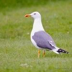 Gaviota sombria, Lesser Black-backed Gull (Larus fuscus graellsii)