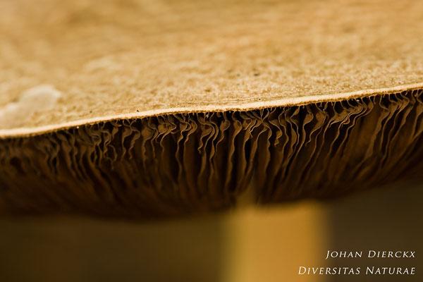 Agaricus augustus - Reuzenchampignon