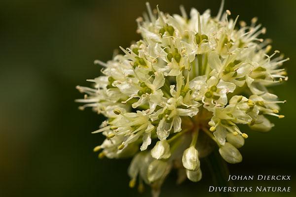 Allium victorialis - Fraaie look