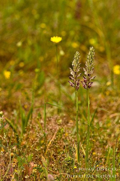 Anacamptis fragrans - Welriekende wantsenorchis