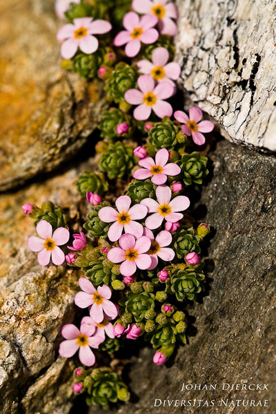 Androsace alpina - Alpenmansschild