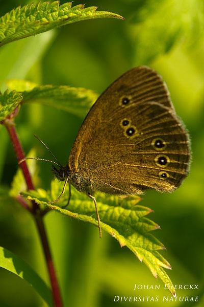 Aphantopus hyperantus - Koevinkje