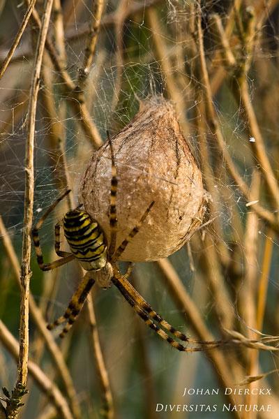Argiope bruennichi - Wespenspin
