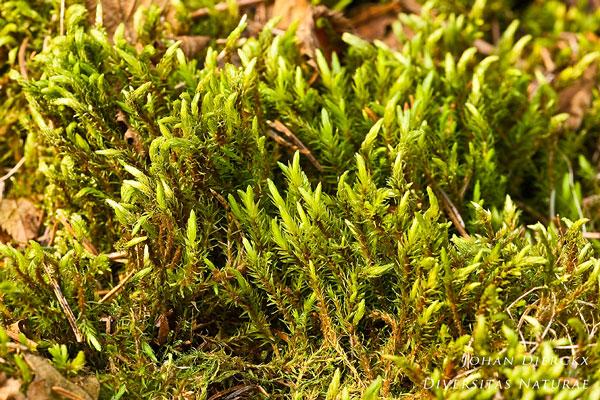 Aulacomnium palustre - Roodviltmos