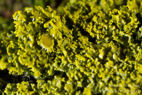 Candelaria concolor - Vals Dooiermos