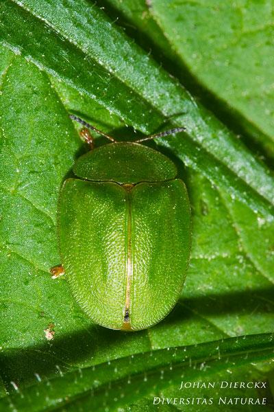 Cassida viridis - Muntschildpadtor