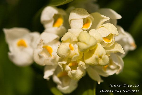 Cephalanthera longifolia - Wit bosvogeltje