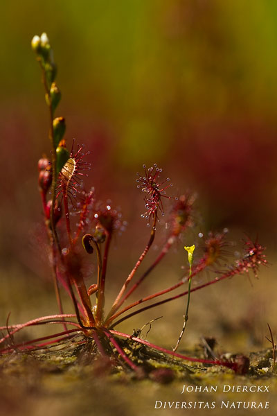 Cicendia filiformis - Draadgentiaan