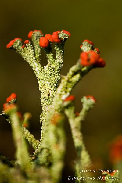 Cladonia floerkeana - Rode Heidelucifer