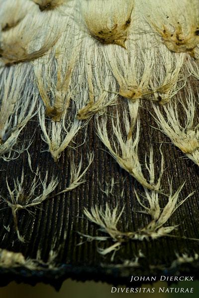 Coprinus comatus - Geschubde inktzwam
