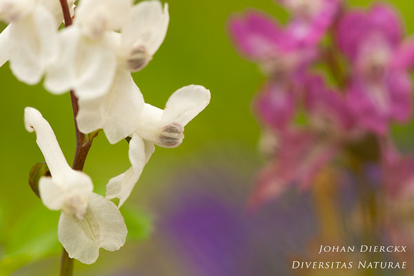 Corydalis cava - Holwortel