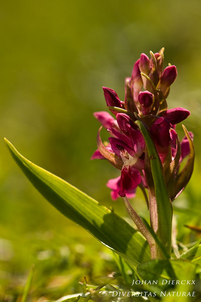 Dactylorhiza coccinea - Steenrode orchis