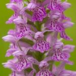 Dactylorhiza fuchsii x Dactylorhiza praetermissa