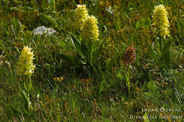 Dactylorhiza sambucina + Coeloglossum viride x Dactylorhiza sambucina