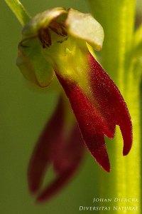 Dactylorhiza viridis
