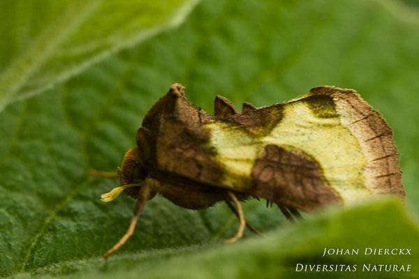 Diachrysia chrysitis - Koperuil