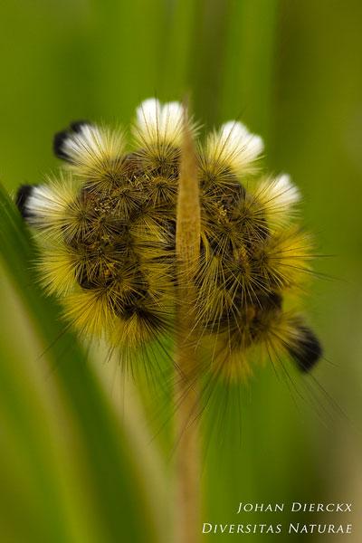 Dicallomera fascelina - Grauwe borstel
