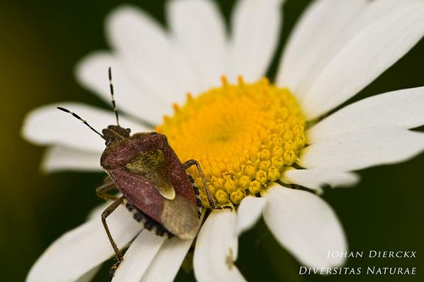 Dolycoris baccarum - Bessenwants