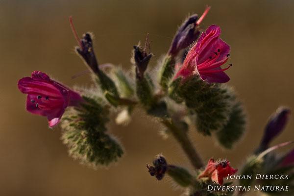 Echium angustifolium
