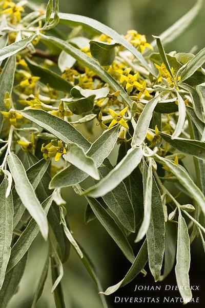 Elaeagnus angustifolia - Smalle olijfwilg