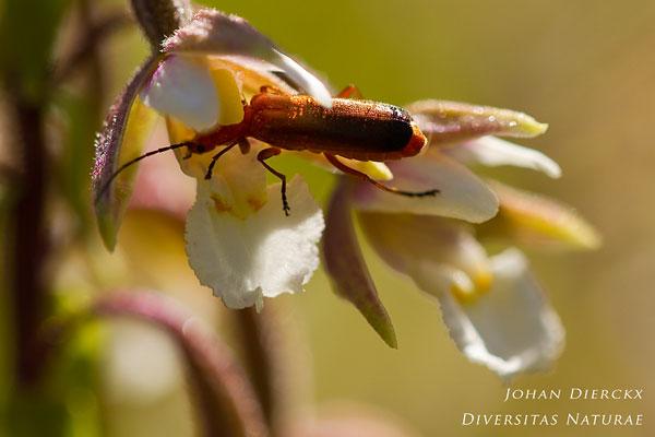 Epipactis palustris - Moeraswespenorchis & Rhagonycha fulva - Kleine rode weekschildkever: Bestuiver